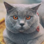 Chartreux Cats Care Guide & Price