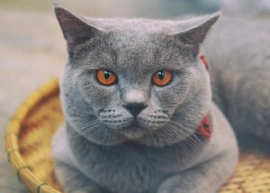 Chartreux Cats Care Guide Price e1595440372538