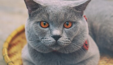 Chartreux Cats Care Guide Price e1595440372538