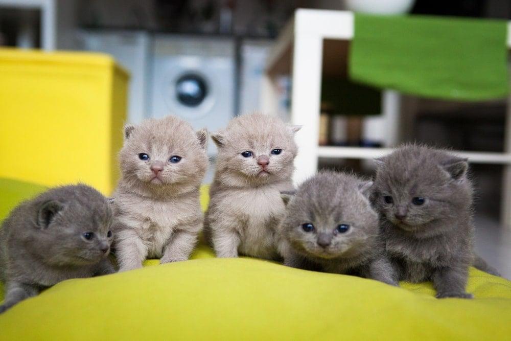 Chartreux Cats five kittens