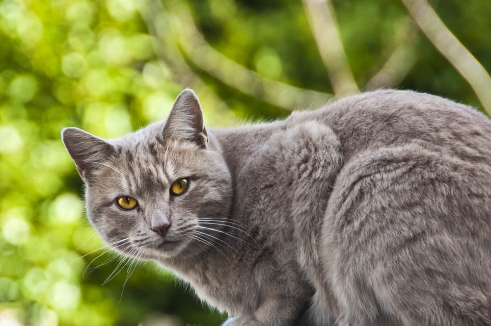 Chartreux Cats in a garden