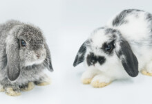 Chinchillas vs. Rabbits - Which Is the Best Pet?