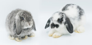 Chinchillas vs. Rabbits Which Is the Best Pet