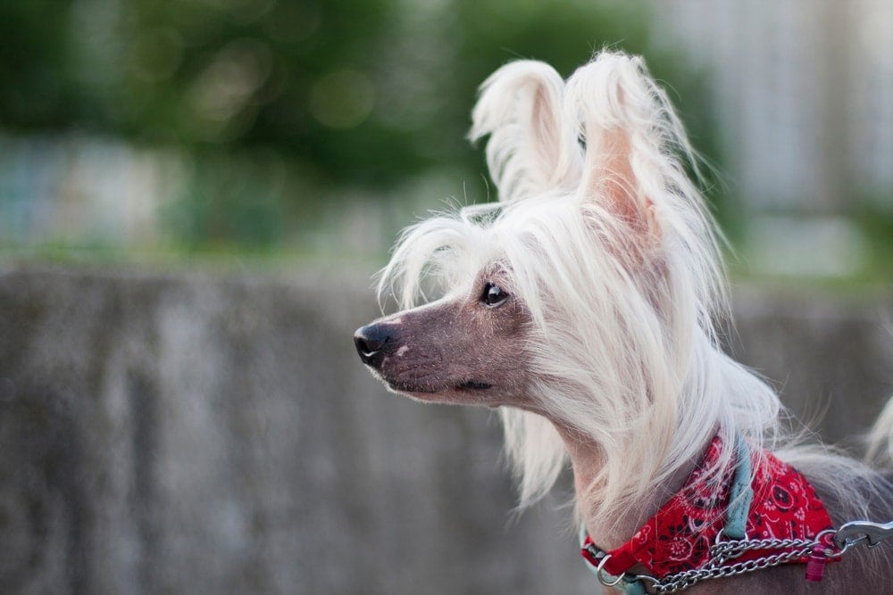 Chinese Crested Dog hairless beautiful
