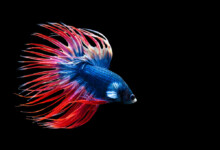 Crowntail Betta Care Guide - Diet, Breeding & More