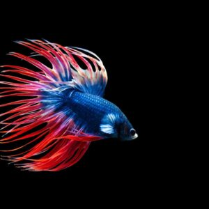 Crowntail Betta - Care Guide & Information