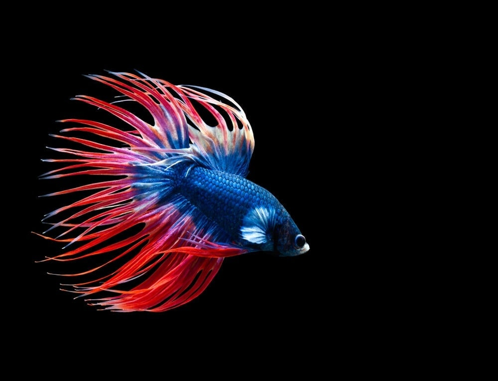 Crowntail Betta red tail e1591438823222