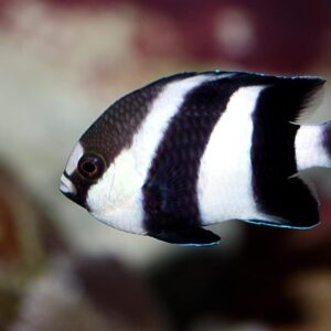 Damselfish Care Guide - Types, Breeding & More
