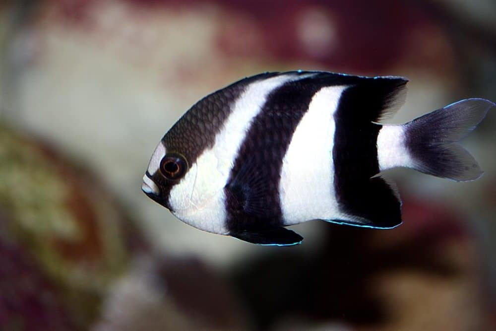 Damselfish black and white e1591442715972
