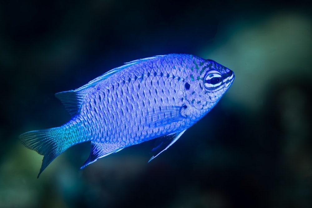 Damselfish blue