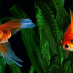 Do Aquarium Fish Vomit & How Can You Prevent It?