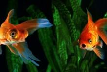 Do Aquarium Fish Vomit & How Can You Prevent It?