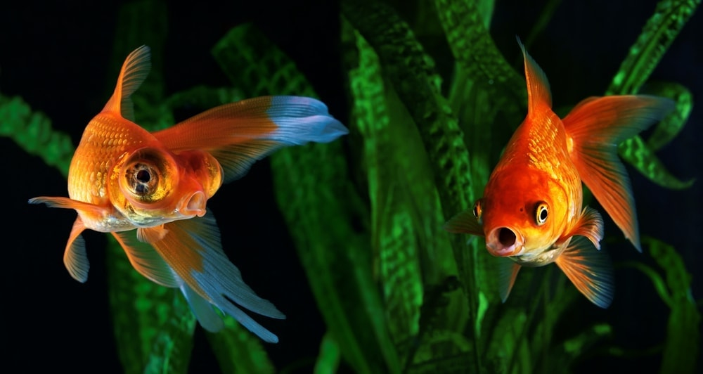 Do Aquarium Fish Vomit How can you prevent it