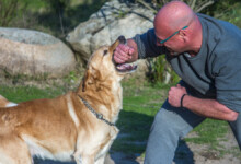 Do Labradors Protect Their Owner?