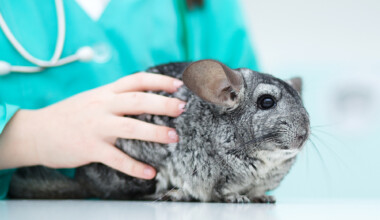 Do chinchillas need to be neutered or spayed