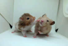 Do Mice And Hamsters Get Along?