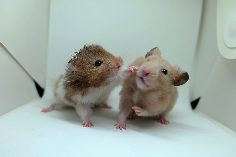 Do mice Hamsters get along