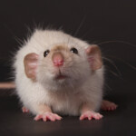 Dumbo Rat — Care Guide & Info
