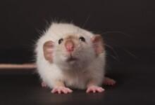 Dumbo Rat — Care Guide & Info
