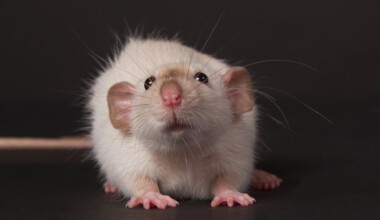 Dumbo Rat Care Guide Information