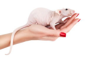 Hairless Rats as Pets What you need to know