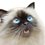 Himalayan Cat Care Guide & Price
