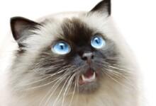 Himalayan Cat Care Guide & Price