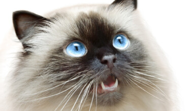 Himalayan Cat Care Guide Price