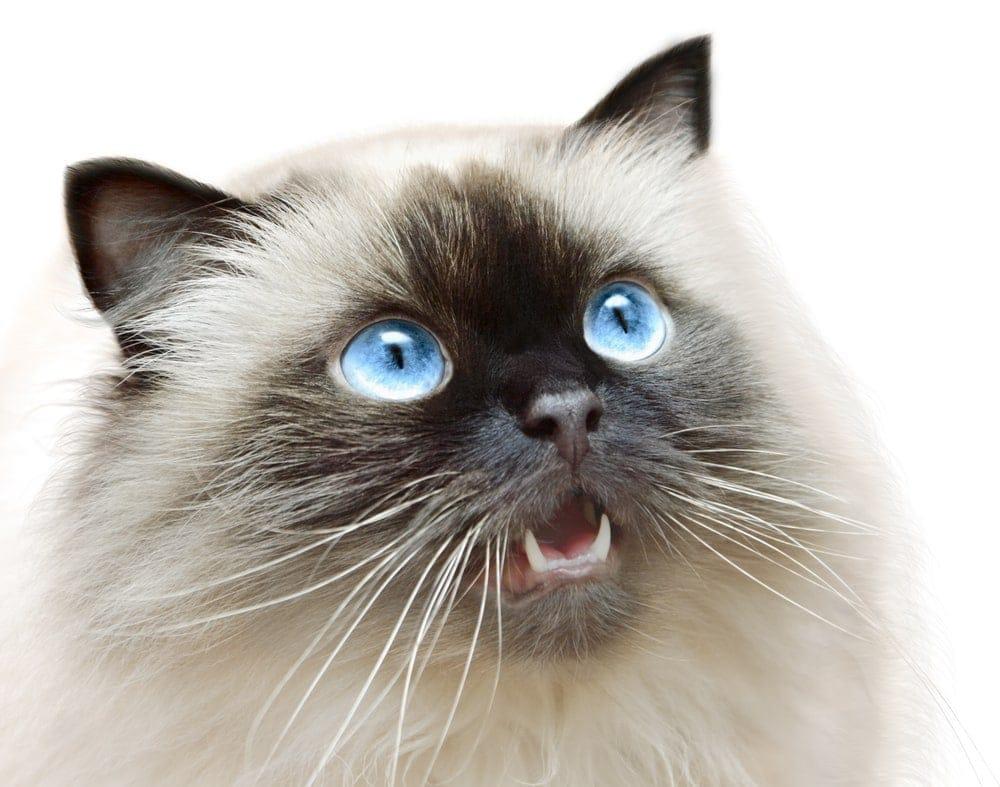 Himalayan Cat Care Guide Price