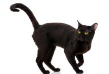 How Big Do Bombay Cats Get?