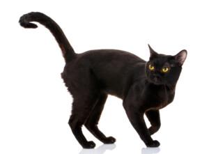 How Big Do Bombay Cats Get