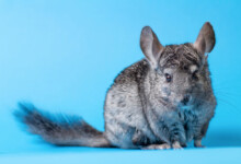 How Difficult Are Chinchillas to Take Care of?