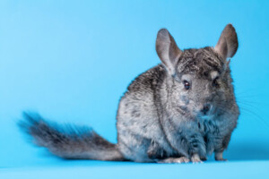 How Difficult Are Chinchillas to Take Care of