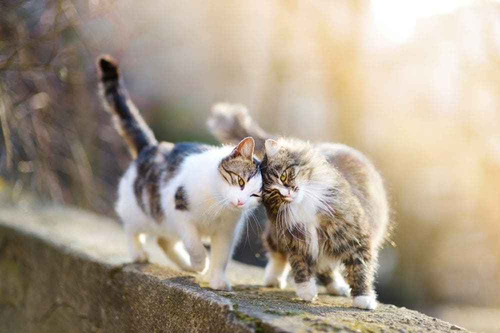 How Do Cats Communicate With Eachother