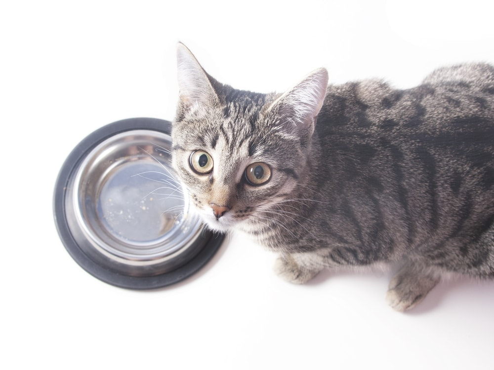 How Long Can A Cat Go Without Food