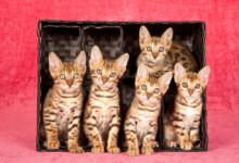 How Much do Bengal Kittens Cost?