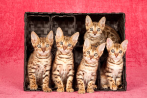 How Much do Bengal Kittens Cost e1595435350658
