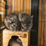 How Big Should a Chinchilla Cage Be?