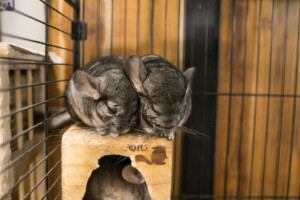 How big should a chinchilla cage be