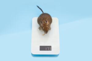 How much do pet rats weigh