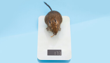 How much do pet rats weigh