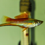 How Often do Swordtail Fish Have Babies?