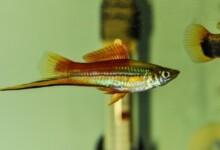 How Often do Swordtail Fish Have Babies?
