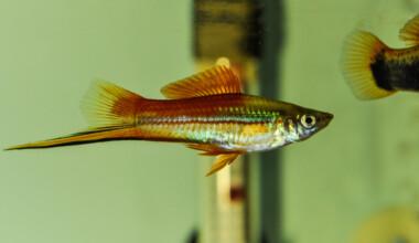 How often do swordtail fish have babies