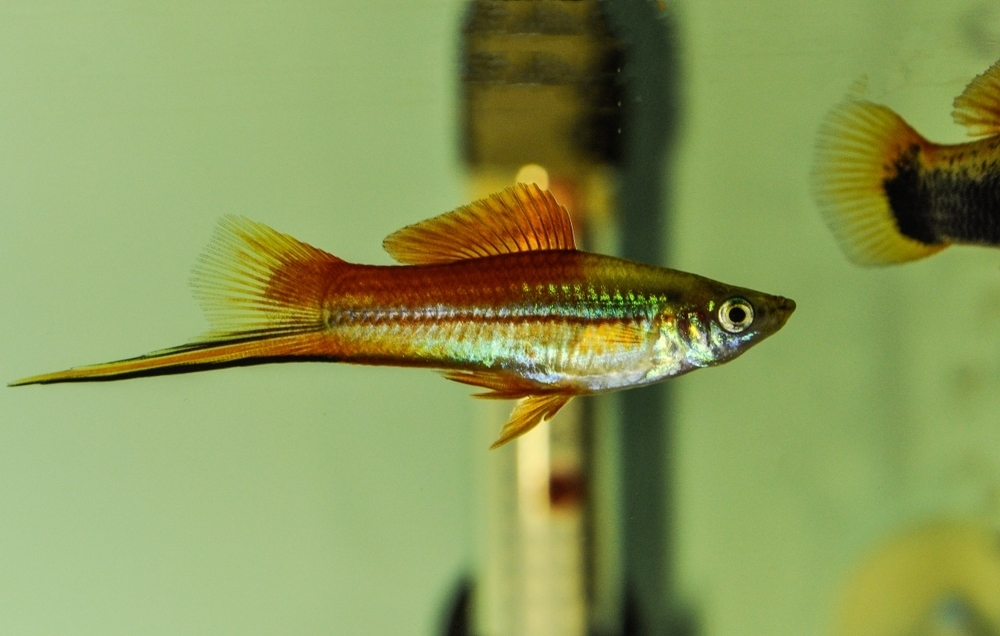 How often do swordtail fish have babies