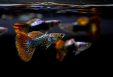 How to Identify Male vs. Female Guppies