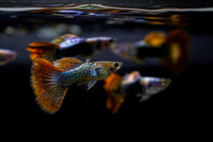 How to Identify Male vs Female Guppies