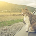 How to Keep Cats Off Cars?