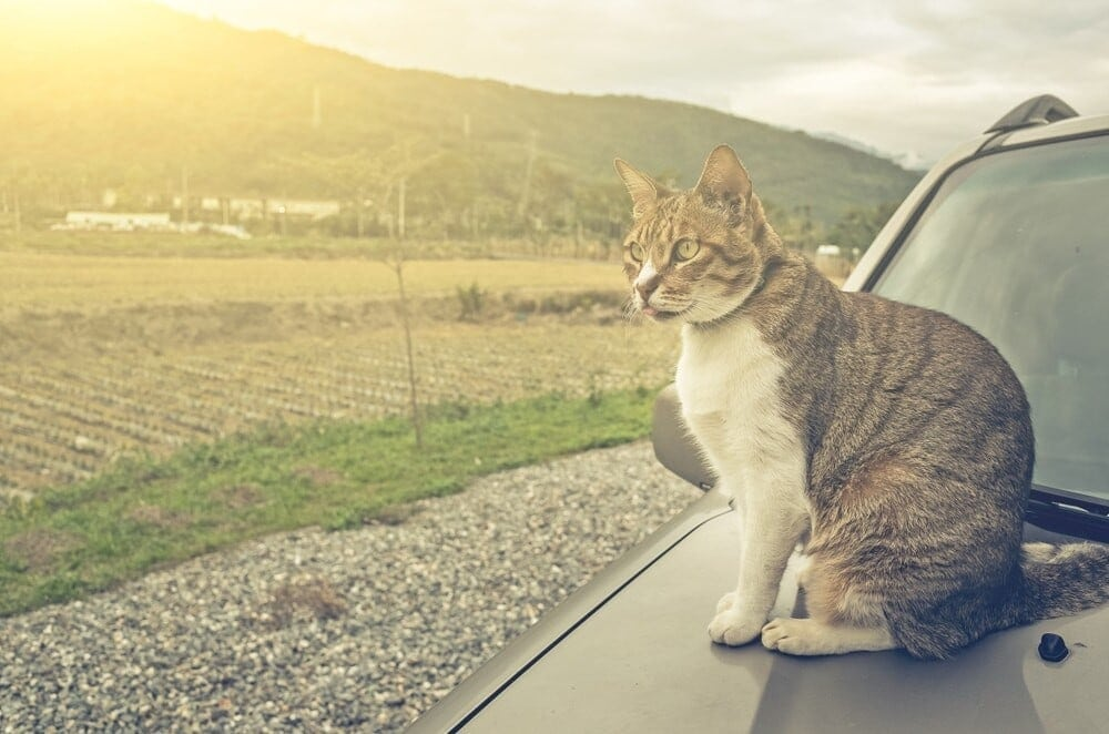 How to Keep Cats Off Cars e1595444493702