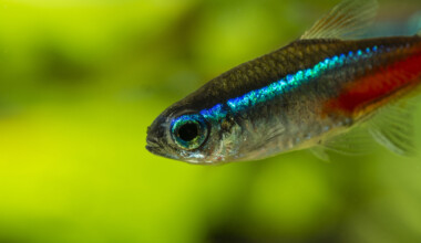 How to Tell if a Neon Tetra Is Going to Lay Eggs